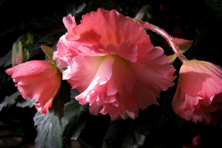White Begonia with Red Edges