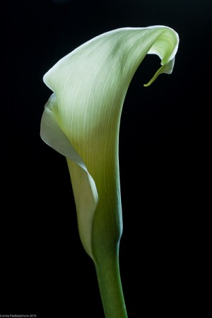 White Calla on Black