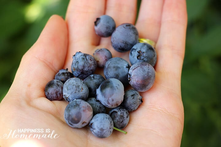 Handful of Garden Fresh Blueberries