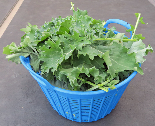 overwintered kale from the greenhouse