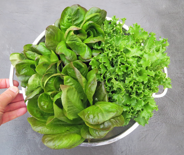 Salanova butter and Tango lettuce