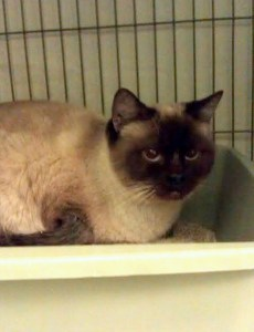 Rescued Siamese @ Happy Cats