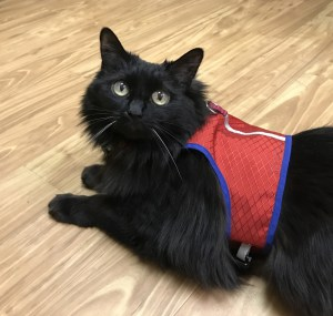 how to leash train your cat happy cats haven