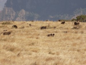 This photo shows a troop of Gelada baboons coming up over a ridge in the Simien Mountains National park, Ethiopia