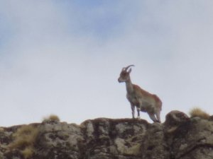 This picture shows a rare Walia Ibex standing on top of a ridge in the Simien Mountains National Park, Ethiopia