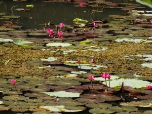 This photo shows shocking pink water lilies on the surface of one of the lakes at Pointe-a-Pierre Wildfowl Trust, Trinidad