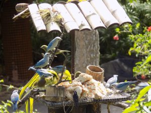 This picture shows lots of small blue and grey birds feeding on the bird table outside reception at the Pointe-a-Pierre Wildfowl Trust, Trinidad