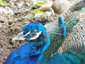 This picture shows a beautiful turquoise blue peacock in the grounds of the Pointe-a-Pierre Wildfowl Trust, Trinidad