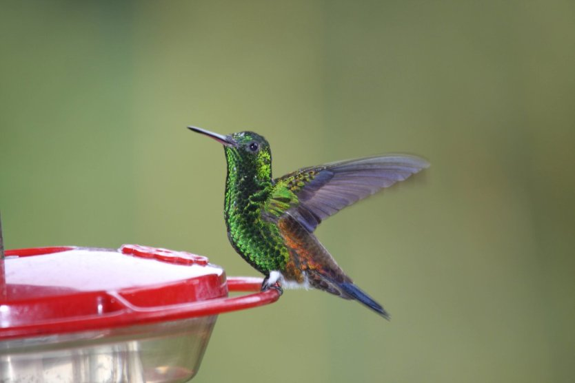 This photo shows a copper=rumped hummingbird sitting on the edge of a feeder