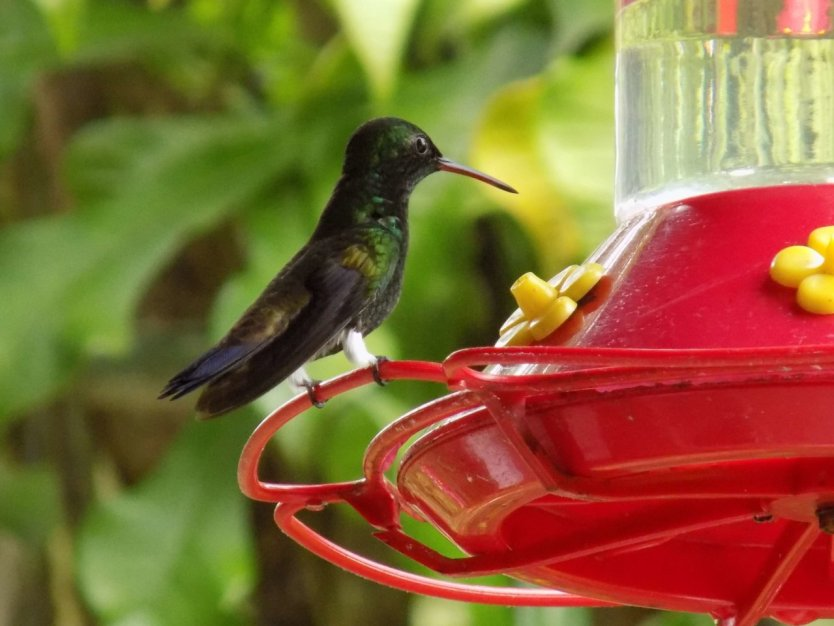 This picture shows a hummingbird standing on the edge of a hanging feeder