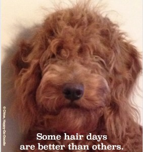 Red goldendoodle puppy with messy hair