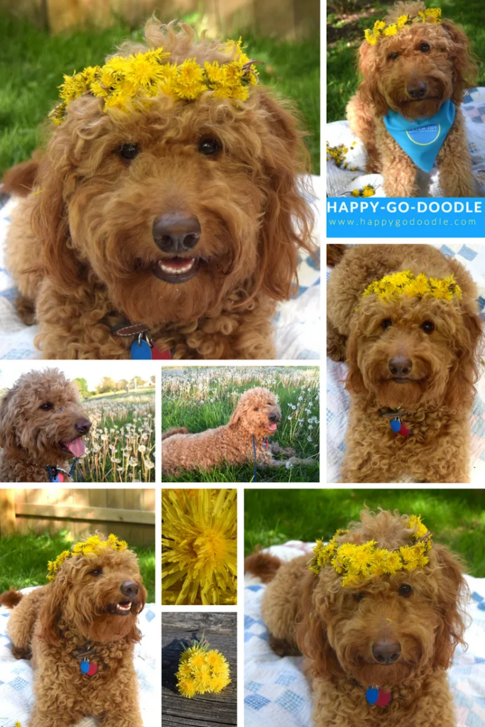 Collage of red goldendoodle dog wearing dandelion crowns for some dandelions and doodle smiles
