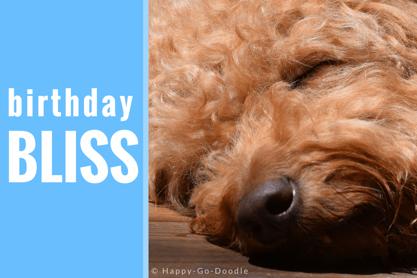Close Up Of Red Goldendoodle Dogu0027s Sleeping Face With Caption Birthday Bliss