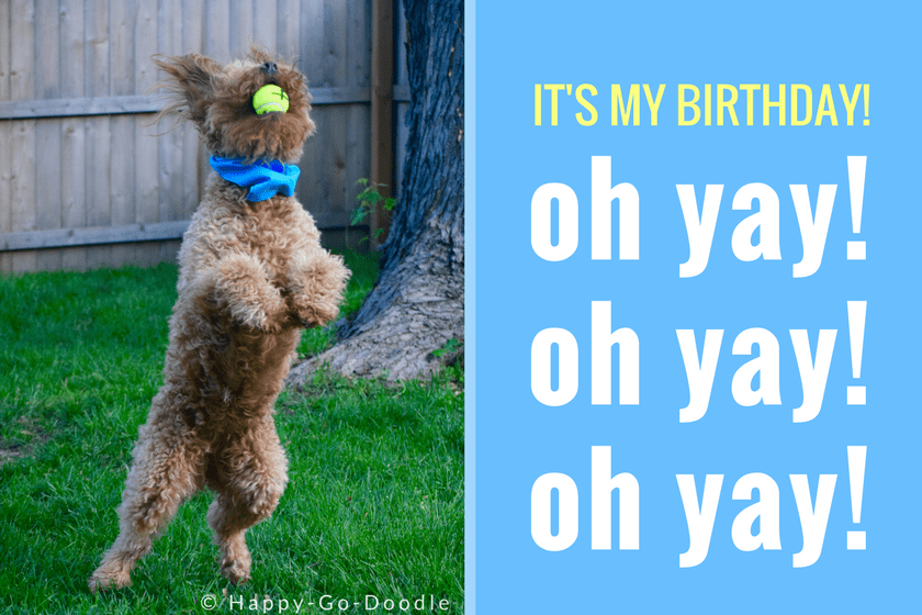 Red goldendoodle dog standing on two legs and catching a yellow dog ball with birthday caption that reads It's My Birthday! oh yay! oh yay! oh yay!