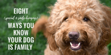 Red goldendoodle dog's smiley face with title Eight Special and Smile-bringing Way You Know Your Dog is Family