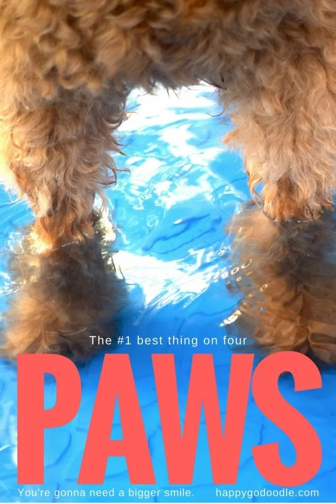 book parody of JAWS with photo of goldendoodle dog's fluffy paws standing in water in blue kiddie pool with large red type that says PAWS and subtitle that says you're gonna need a bigger smile