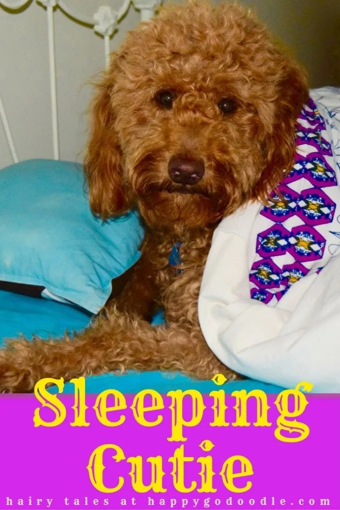 red goldendoodle dog snuggled in bed with royal looking blankets and book parody title Sleeping Cutie and subtitle hairy tales as spoof on classic fairy tales
