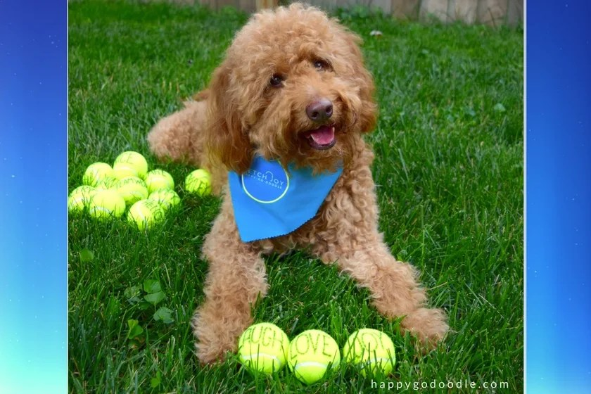 Red goldendoodle dog with blue dog bandana lying on graww with tennis balls between dog's paws and balls each have one word laugh love joy