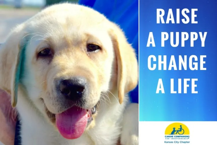 Canine Companions for Independence puppy's face with tongue out and message raise a puppy, chagne a life and logo of Kansas City Chapter of Canine Companions for Independence on blue background