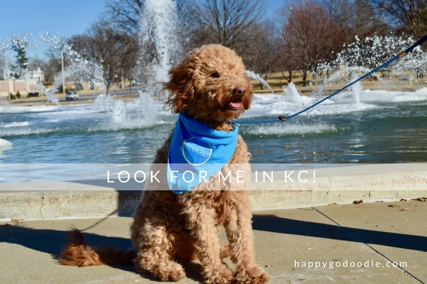 Red goldendoodle dog in front of North Kansas City Missouri Fountain and words look for me in dog-friendly KC
