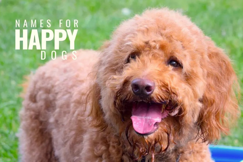 red goldendoodle dog with a smiling face and title goldendoodle dog names for happy dogs