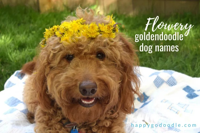 Best Goldendoodle Dog Names for All Types of Doods - Happy-Go-Doodle®