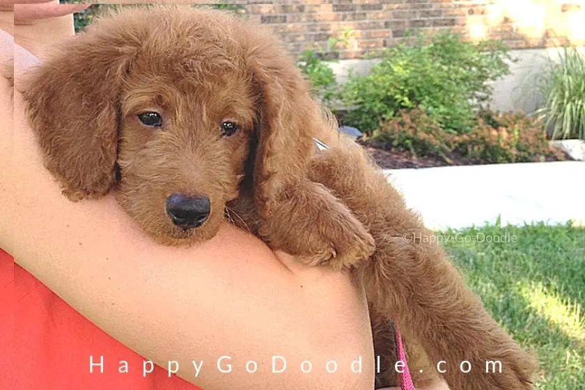 photo new goldendoodle puppy arriving home