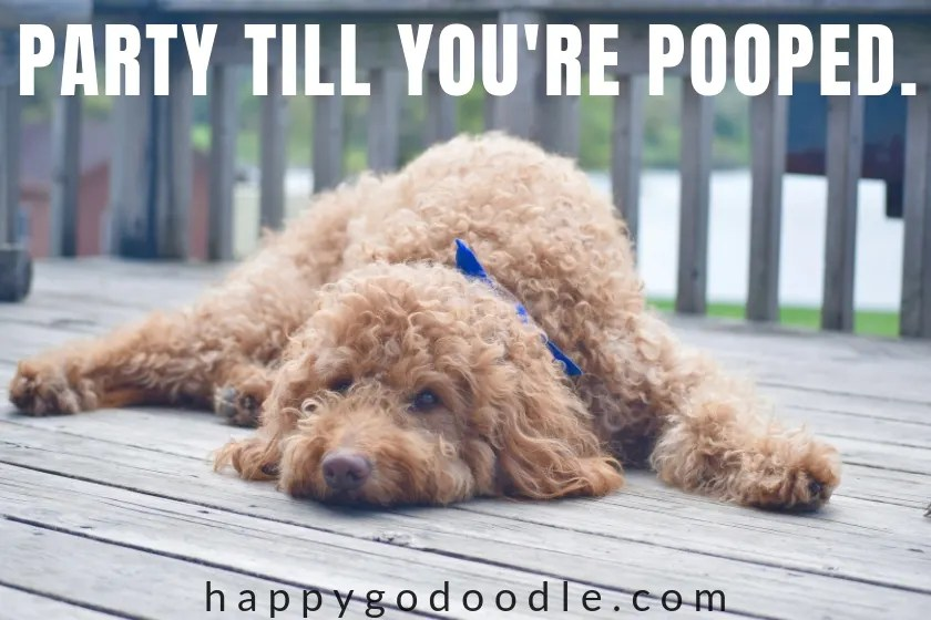 dog birthday meme says party till your pooped and goldendoodle lying on deck photo