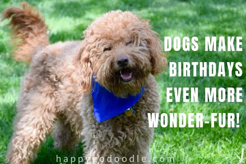 cute dog birthday meme with goldendoodle dog photo