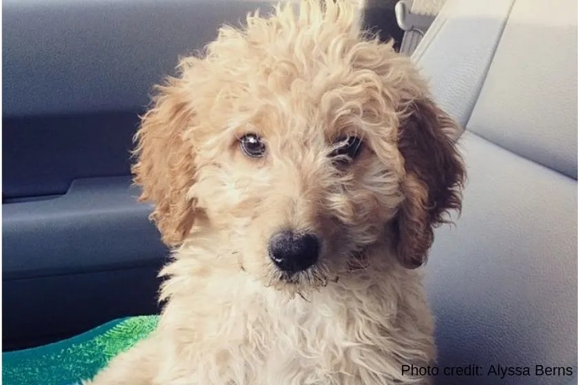 photo of cream-colored Goldendoodle dog named Starry as example of dog name ending in Y