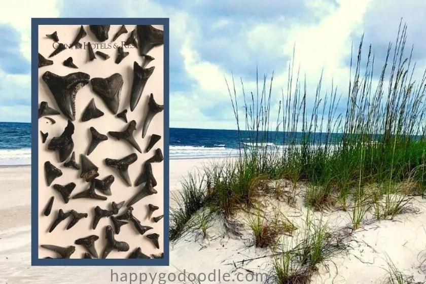 photo of dozens of shark teeth found in amelia island florida