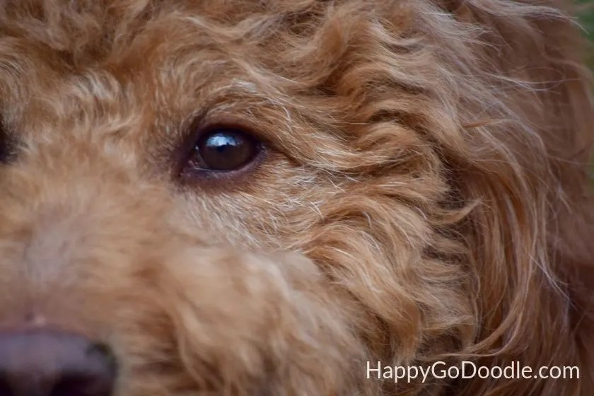 Close-up of red Goldendoodle's face showing white hairs around the eyes to show Goldendoodle aging as example of Goldendoodle's lifespan. Photo