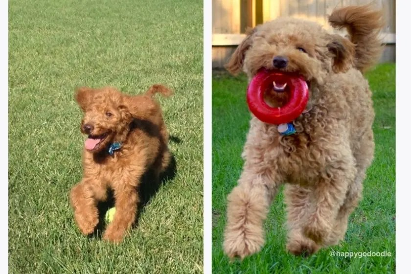 red goldendoodle puppy and red goldendoodle adult dog