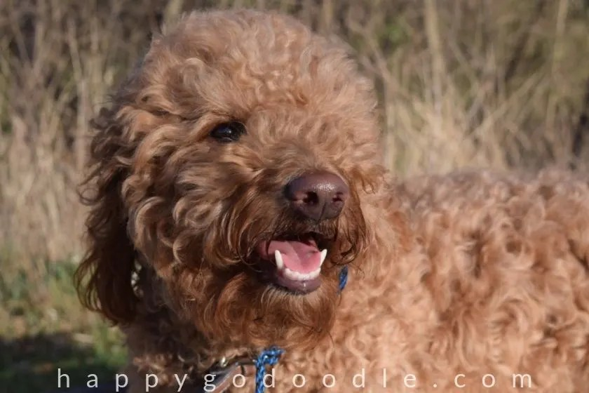 photo red Goldendoodle