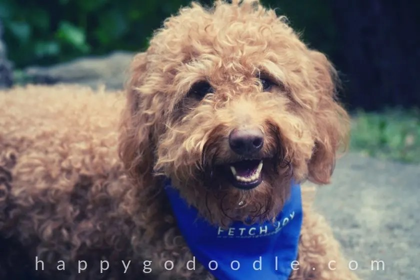 photo of red goldendoodle dog sitting outside