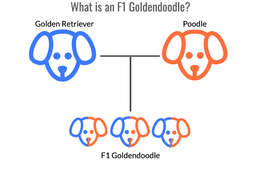 diagram of the parental structure of F1 Goldendoodle