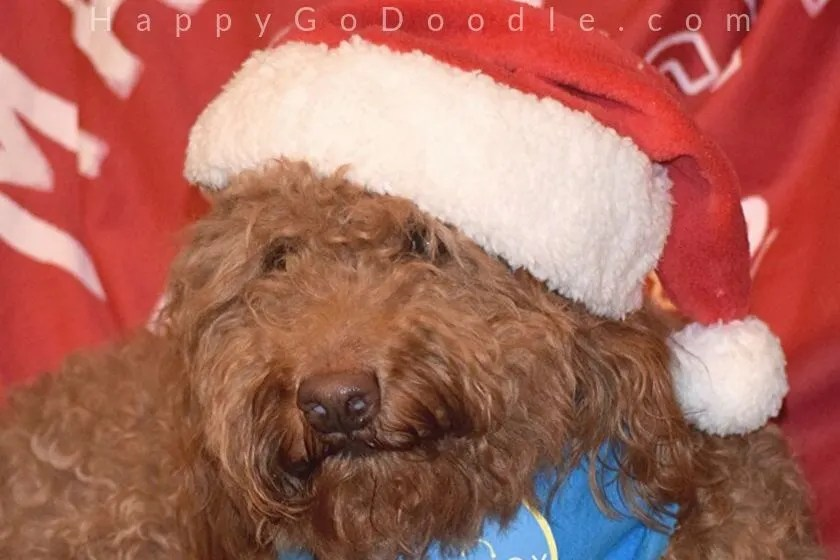 photo goldendoodle dog wearing a red santa hat