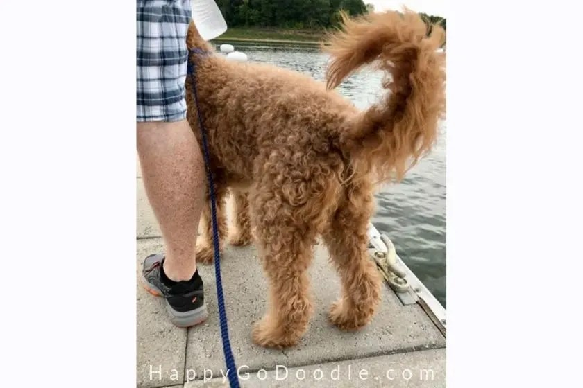 photo of a red goldendoodle dog standing beside the dog owner's leg by the lake