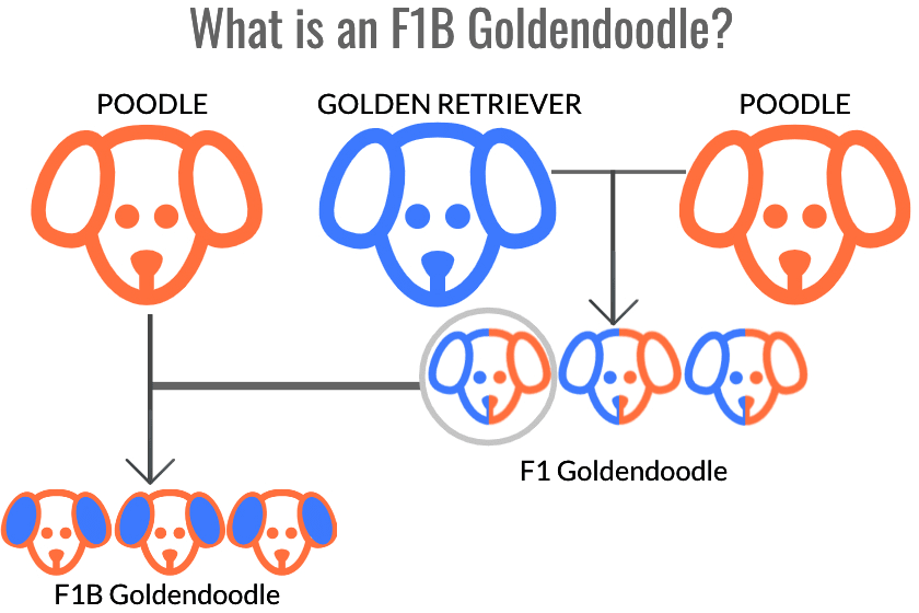 diagram of the parental structure of an f1b goldendoodle