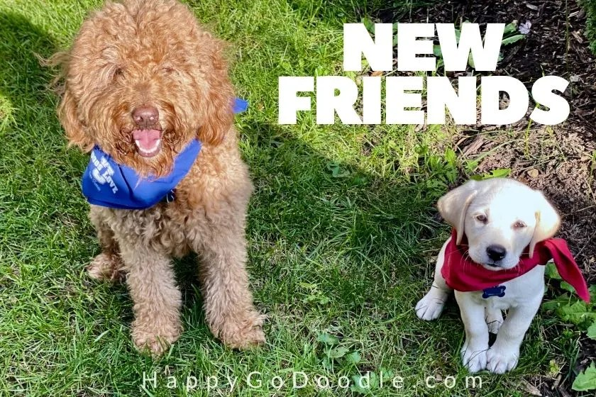 new labrador retriever puppy sitting next to 6-year-old adult Goldendoodle  after first introduction
