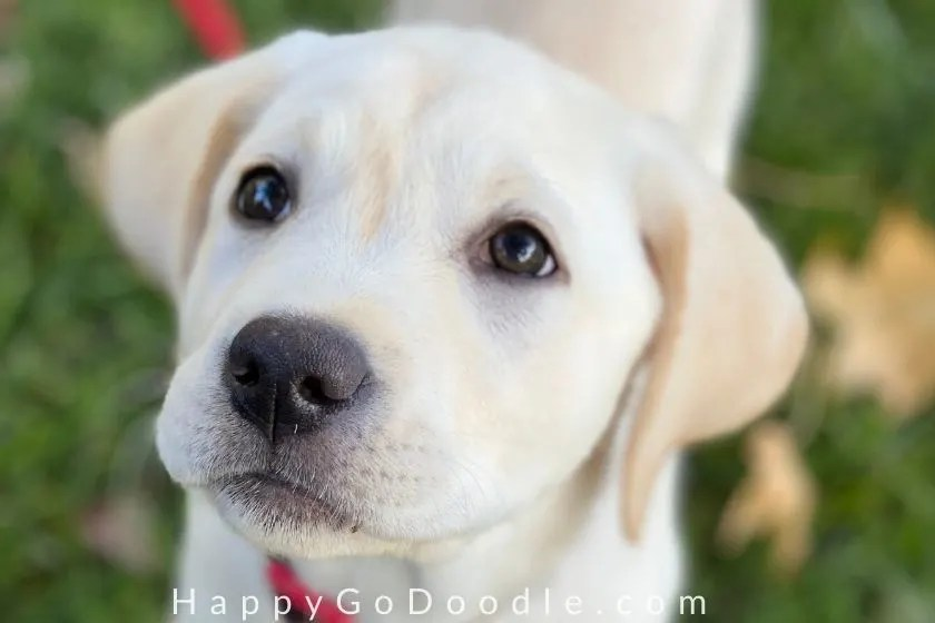 photo labrador retriever puppy's face