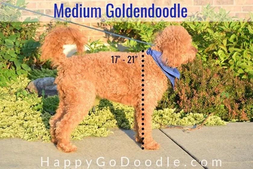 "photo side view of a medium Goldendoodle and line showing 17 to 21"" high"