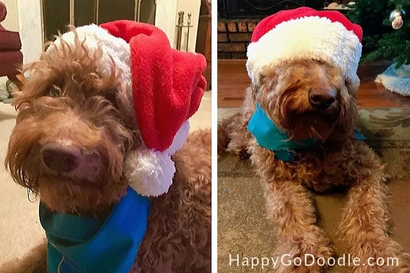 photo medium goldendoodle dog in a santa hat