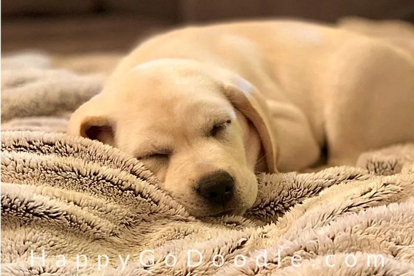 photo labrador retriever puppy sleeping