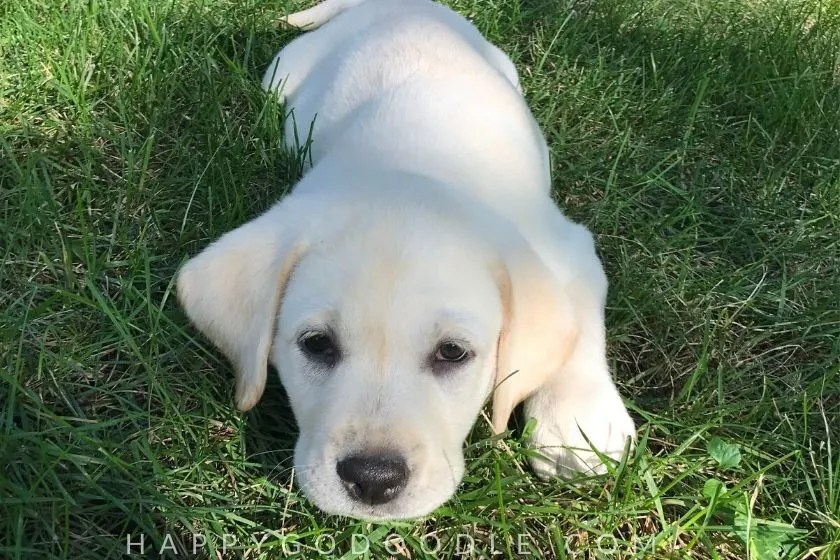 photo labrador puppy in grass