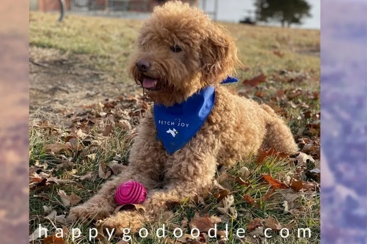 Goldendoodle sitting outside with red ball in paws. Photo