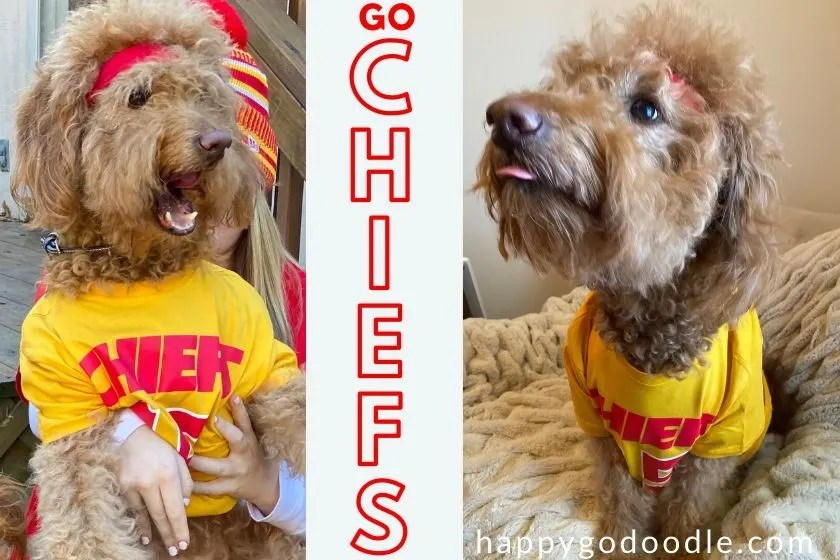 photo goldendoodle dog wearing patrick mahomes #15 shirt and title go chiefs