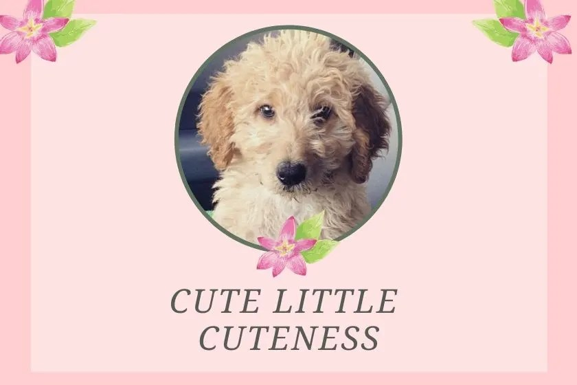 pink graphic with photo inset of goldendoodle puppy and title cute little cuteness
