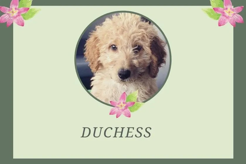 photo inset of cream goldendoodle puppy with name duchess on green and floral graphic