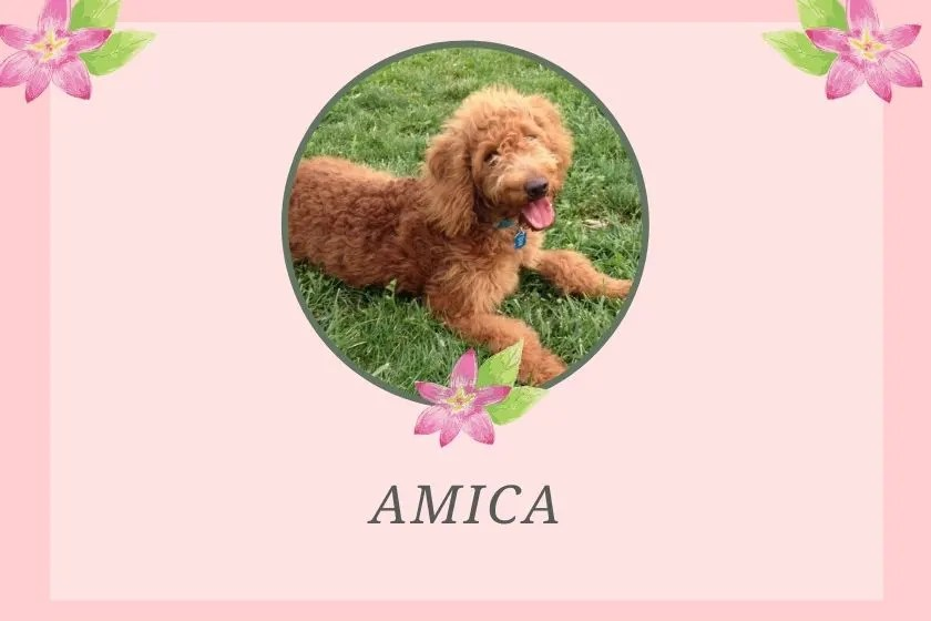 photo inset of red goldendoodle puppy and name amica printed below it on a pink background